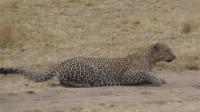 豹子趴在地上匍匐前进,盯准了前方的羚羊,羚羊被瞬间歼灭!
