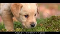 这只狗很聪明,主人嫌弃狗狗的爪子脏,狗狗还会拿抱枕擦脚