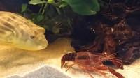 小龙虾挑衅河豚,却被河豚一口爆头,网友:河豚果然厉害