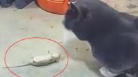 老鼠撞见猫咪,立刻躺在地上装死,实力演技逃得一命