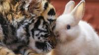 饲养员给老虎加餐,把兔子扔进虎笼,第二天一看瞬间傻眼