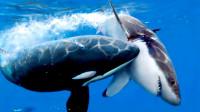 为什么鲨鱼遇到虎鲸会一动不动任其撕咬?理由太简单了吧
