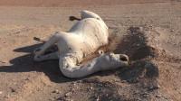 沙漠的骆驼渴死后,为啥不能让人碰?看完涨知识了