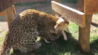 狗狗一直照顾小豹子,豹子长大后见到狗妈妈,立马变乖巧!