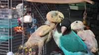 鹦鹉说脏话,主人把它关笼子里,鹦鹉却一怒之下拔光自己羽毛