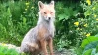 大胆狐狸半路拦下军车,还以为它饿了,兵哥哥下车后差点泪目