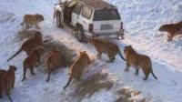 老虎群体捕猎,围堵一辆小汽车,下一秒让人很意外!