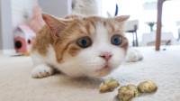 给猫咪尝下虫瘿果,刚吃半颗就嗨起来了,比猫薄荷还喜欢吃!