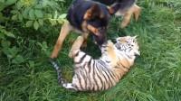 小老虎整日受狗子的气,2年后小老虎长成了大老虎,狗子就悲剧了