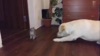 拉布拉多和小猫对峙,但是谁都不敢先动手,以不变应万变