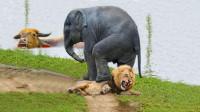野牛被困在河里,狮子以为唾手可得,关键时刻大象赶来营救!