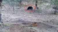 老虎趴在地上发现猎物,以为是羊,走近一看吓得撒腿就跑!