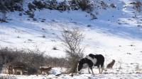 一匹马不慎误入狼群,为保命这样做,网友:高智商的马儿!