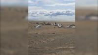 心碎! 冰岛海滩惊现50多具鲸鱼尸体 乘客直升机上拍下凄惨一幕