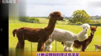 现在很多养羊驼当宠物,如果统统给他们来个发型会不会更可爱!