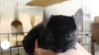 这龙猫也太可爱了吧 黑不溜秋的像只小老鼠
