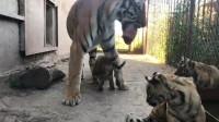 过分!虎妈妈心疼孩子把肉留给小老虎吃,没想到小老虎这样做!