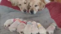 拉布拉多两口子都不想带娃,妈妈还装睡,最后两口子妥协了