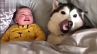 宝宝一直哭个不停,哈士奇竭尽全力安抚宝宝,太有爱了
