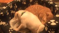 狗看到猫到底有多兴奋?一窝金毛围着一只猫咪,舔到它怀疑喵生