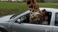 长颈鹿把头伸进车里,女子慌乱之中把车窗关上,下一秒悲剧发生了!