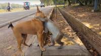 当狗子遇到猴子,这下可倒霉喽,狗:我也是有尊严的!