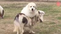 主人让牧羊犬看着迷你马,结果牧羊犬也想体验一下骑马的感觉