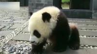 熊猫:奶爸不给自己擦嘴,团子竟走向摄像,摄像大哥都快控制不住自己了
