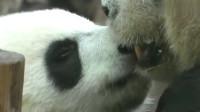熊猫:熊猫团子和妈妈的亲亲,画面极度暖人心,难怪是国宝