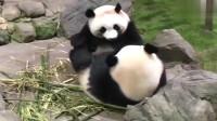 熊猫:两只大熊猫抢一根竹子,谁也不让谁,不能拿其他的吗