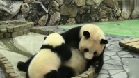 萌宠:熊孩子喝neinei,开心到飞起,熊猫妈妈却累到生无可恋