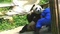 熊猫:面对昔日挚爱的小零食,波澜不惊,一看就是经历过大场面的熊猫