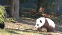 熊猫:没想到熊猫是摔着出生的,网友看到后笑称,怪不得熊猫这么抗摔