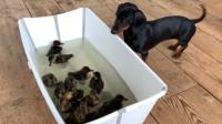 主人让狗狗看守小鸭子,当她回来时,一开门就被眼前的这幕给暖到