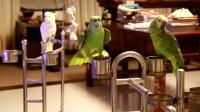这只鹦鹉成精了 一言不合就飙歌