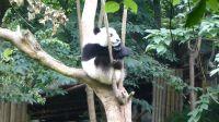 再说一遍树上是不长下熊猫的