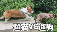遛猫被狗追,猫锤只是传说,舔狗才是王道哈哈哈