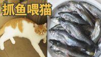 下雨夜,抓鱼给猫吃!一盘河鱼,小橘猫守着厨房等吃的