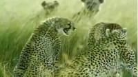 鬣狗看到猎豹家族完全不怕,小公豹很愤怒,要给非洲二哥上一课!