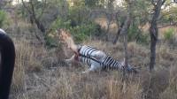 猎豹捡到死亡斑马,以为是免费午餐,一口下去吓懵了