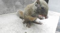 养松鼠一定要养没满月的,就像这种,从小养大后才会听话不怕人