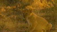 危机四伏的草原上落单幼崽如何平安存活,离群母狮用实力夺回狮群信任