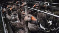 欧洲人最喜爱的鹅肝都是怎么来的?了解经过后,你还想吃吗?