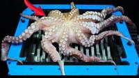 将章鱼放进粉碎机,老外启动机器的那一刻,画面太美不敢看