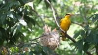 大森林里的黄鹂鸟育雏,这个鸟窝很高,一般人平时看不到