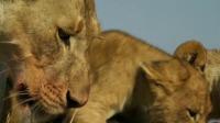 母狮被雄狮驱逐,为护幼崽不惧雄狮挑衅,好好的一场争斗变成了爱情故事