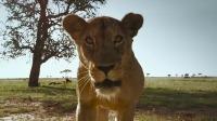 现实版狮子王,母狮大战鬣狗群,为护幼崽放弃到嘴的食物