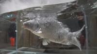 """老外将活鱼丢入液氮,鱼瞬间被冻成""""冰棍"""",最后的画面不敢相信"""