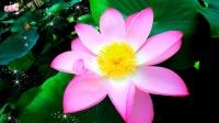 创意音乐视频《紫金花园~纯音乐》《映日荷花别样红》精华版《88部》