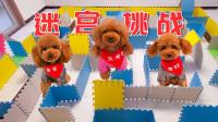 3只狗狗挑战大型迷宫,难度太大瞬间懵圈,最后气得直接破墙而出!